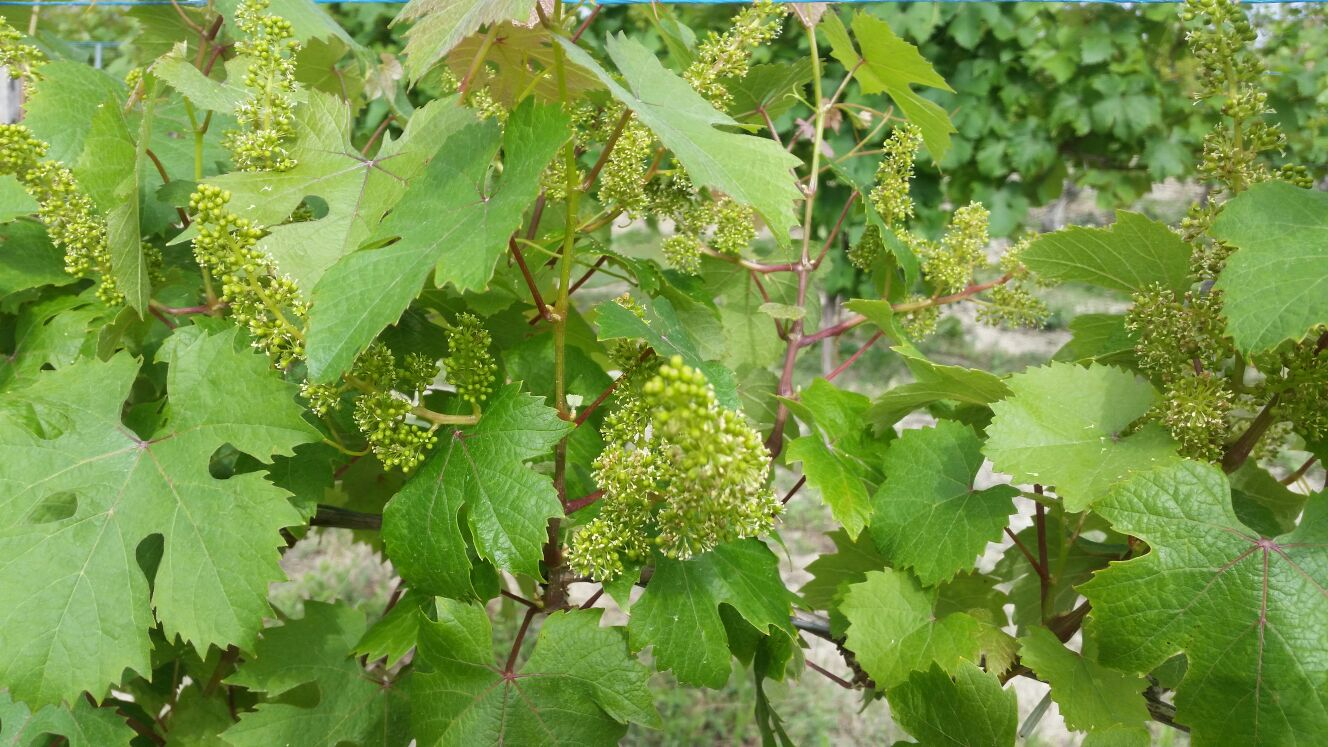 May and June in the vineyard